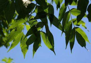 Epidémie de Chalarose du frêne